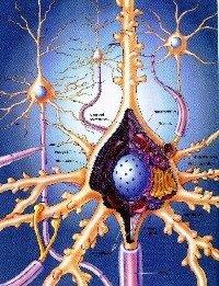Neuro-reactivatie werkt in op de neuronen